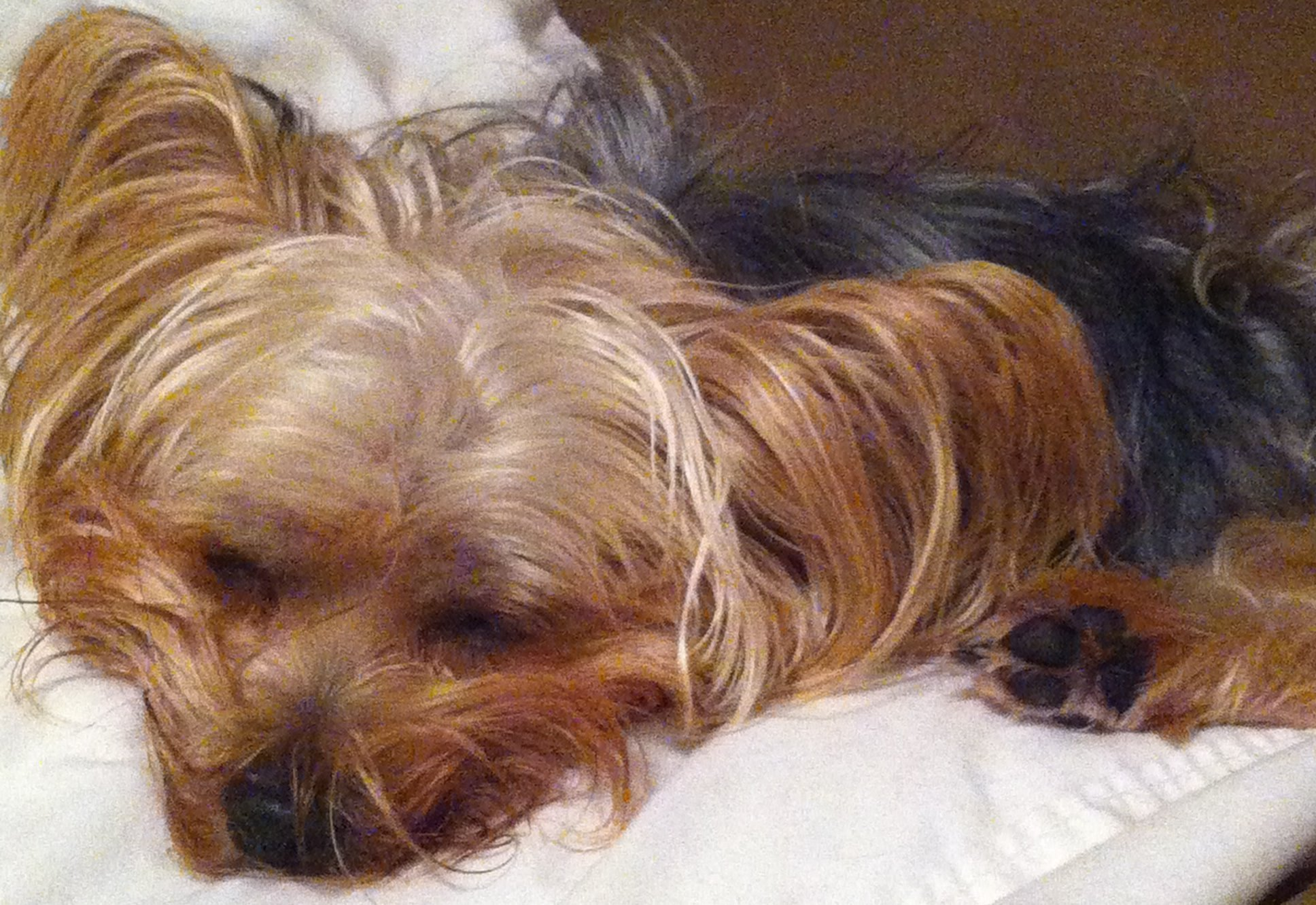 Flower Essences in Alert Saves Family Pet – Our Yorkie Poo Bella!