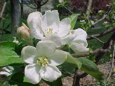 Crab Apple Bach Flower