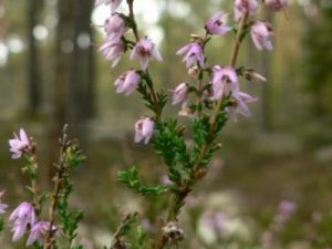 Bach's Heather Flower Image
