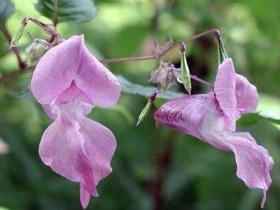 Impatiens Bach Flower Image