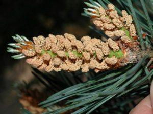 Pine Bach Flower Image
