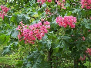 Red Chestnut Bach Flower Image