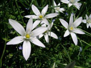 Star of Bethlehem Bach Flower Image