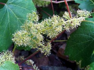 Vine Bach Flower Image