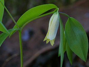 Wild Oat Bach Flower Image
