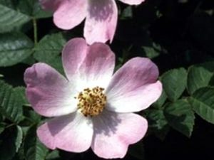 Wild Rose Bach Flower Image
