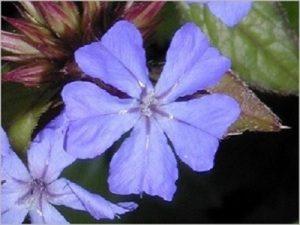 Cerato Bach Flower Image
