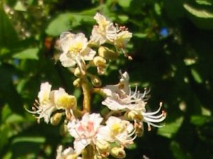 Chestnut Bud Bach Flower Image