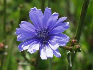 Chicory Bach Flower Image