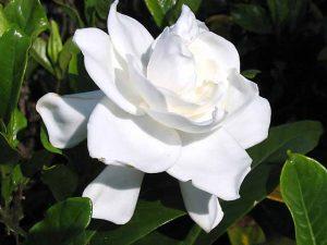 Gardenia Flower Image