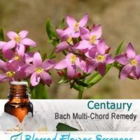 Centaury Flower Remedy