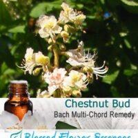 Chestnut Bud Flower Remedy