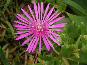 Delosperma (Hardy Ice Plant) Flower Image