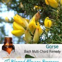 Gorse Flower Remedy