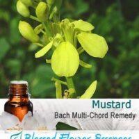 Mustard Flower Remedy