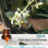 Olive Flower Remedy