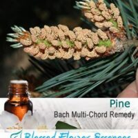 Pine Flower Remedy