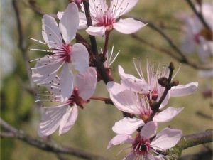 Cherry Plum Bach Flower Image