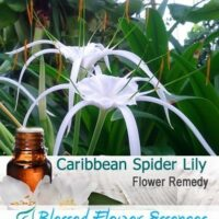 Caribbean Spider Lily Flower Remedy