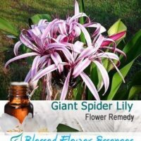 Giant Spider Lily Flower Remedy