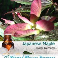 Japanese Maple Flower Remedy
