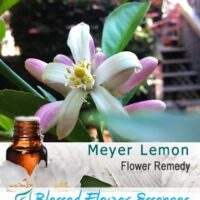 Meyer Lemon Flower Remedy