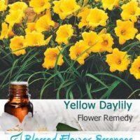 Yellow Daylily Flower Remedy