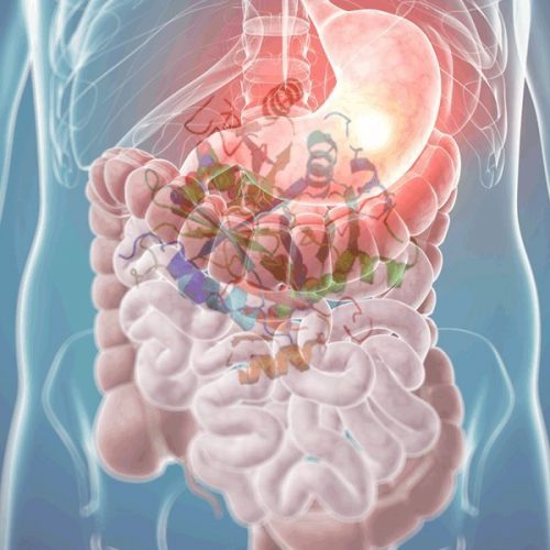 Digestive Enzymes in the Gut