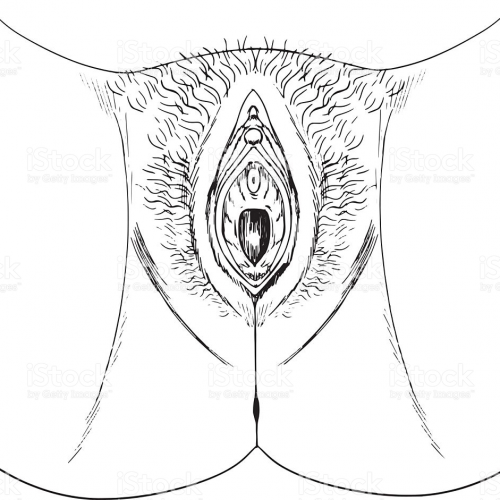 External Female Genitals Sketch
