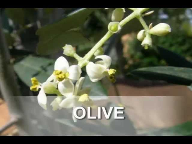 Fighting Chronic Fatigue with Olive Bach Flower Essence