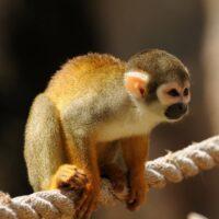 Monkey Animal Essence