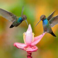 Hummingbird Animal Essence
