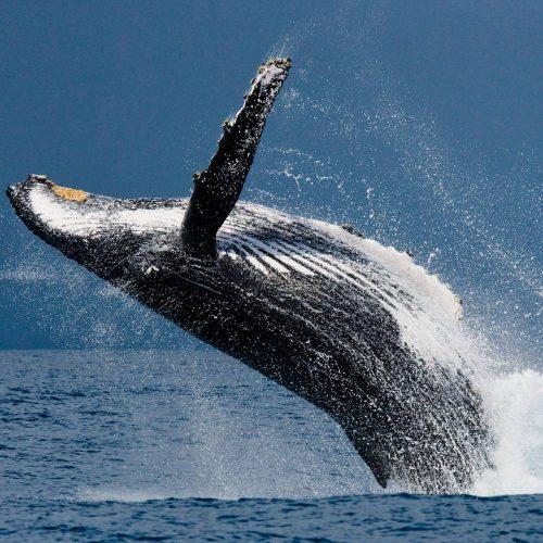 Whale Essence