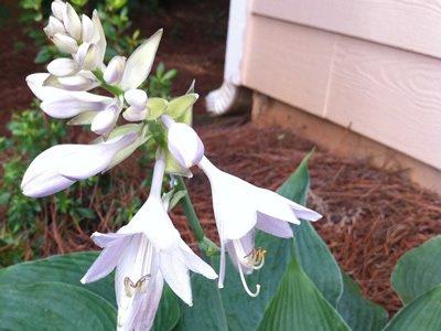 Making Flower Essences with Hosta Flower